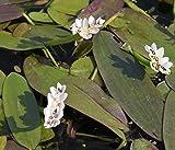 Wasserpflanzen Wolff - Aponogeton distachyos - Afrikanische- Zweireihige Wasserähre...