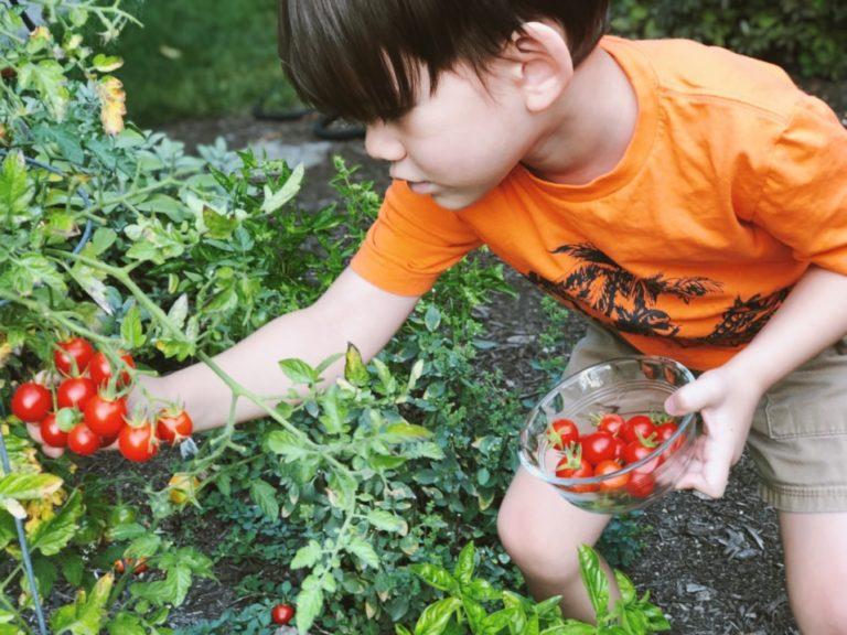Junge erntet selbst gepflanzte Tomaten