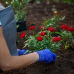 Die richtige Erde für Rosen